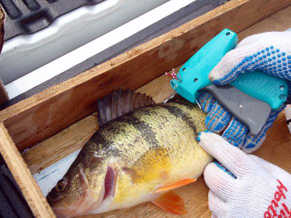 One of 140 perch tagged at the Simcoe Bass Anglers Annual Perch Tournament on Lake Simcoe.