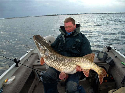 This truly monster sized northern pike is not even from North America